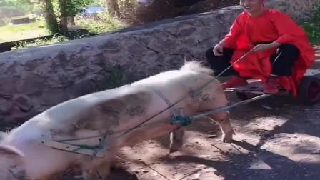 猪除了吃和睡,竟然可以这样,这个主人真有才!