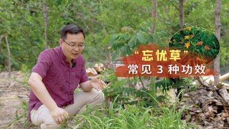 """农村路边1种野草,被称为""""忘忧草"""",3种常见功效,不妨了解一下"""