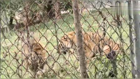 老虎与狮子发生激烈冲突站立打斗
