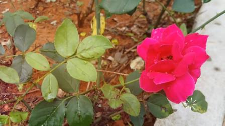 音乐视频03-自然美景-红玫瑰 纯音乐 dj歌曲 网络红歌 田园风景 风景优美的乡村美景