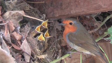 这就是母爱,为了幼鸟能吃饱,鸟妈妈不辞艰辛,看它是怎么做的
