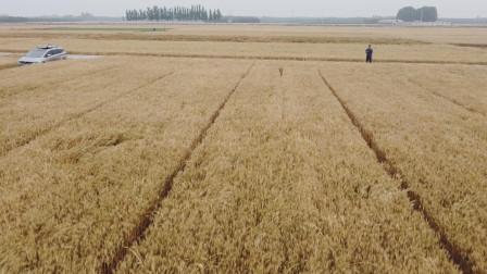 谁说平原没风光?看看我的家乡,金黄的麦浪无边无际,一眼望不到边,好不壮观!