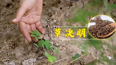 田间地头的这个植物,能平肝顺气、润肠通便,但农村很少有人知道