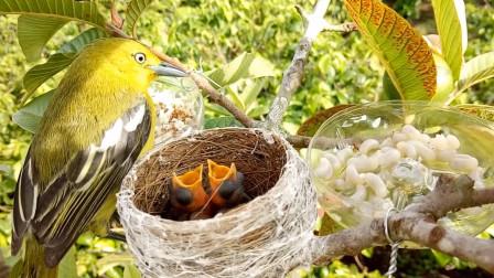 鸟父母归巢,发现旁边多了两盘虫子,你看它们会如何处理