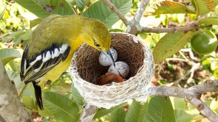 鸟妈妈归巢,看到幼鸟正破壳而出,你看它会如何辅助