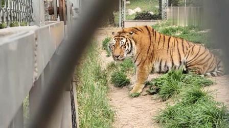 几次打斗的老虎与狮子被隔开
