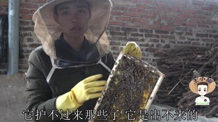 小福教你一招,小蛋群快速发展成强群蜂,一个月后就可以割蜜