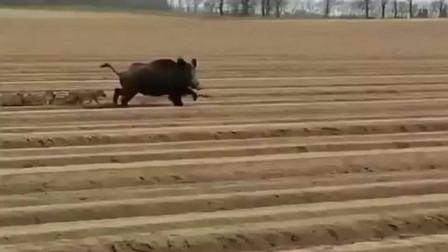 """刚整好的耕地被""""野猪""""一家横行践踏,农民大爷都气坏了"""