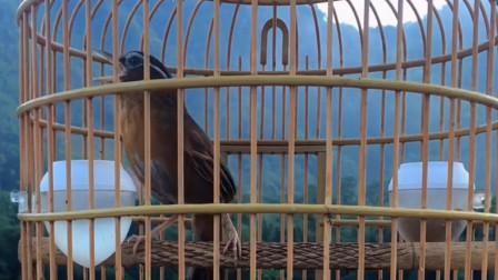 甜美悠扬的母画眉鸟叫声,公画眉鸟听了赶忙对唱,一唱一和真过瘾