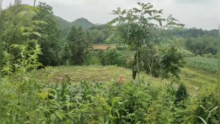 贵州虎山留题坟墓风水,传说有一棺大地,王君植风水大师弟子华江毕节寻龙视频