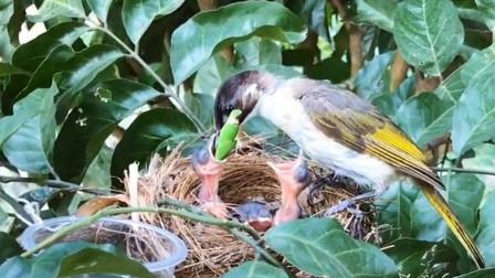 幼鸟太难了,面对大虫却吃得够呛,看鸟妈妈会如何辅助