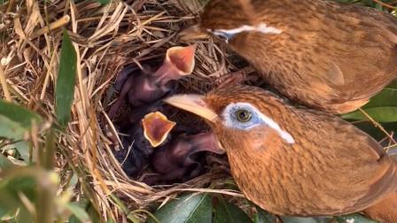 画眉鸟夫妻共同育雏,幼鸟太幸福了,看究竟谁更细心