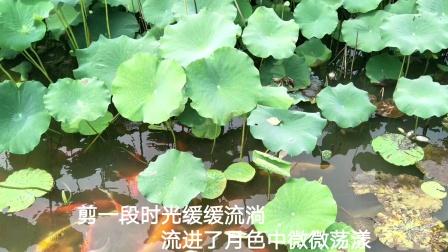 葫芦丝演奏《荷塘月色》(武汉金银湖荷花绽放)
