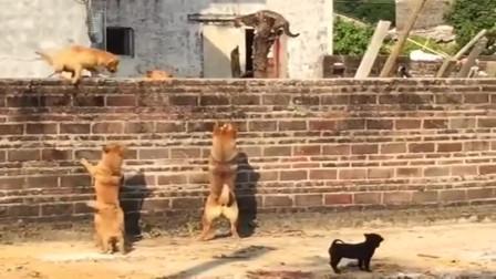 六狗堵一猫,猫被逼急了也会跳墙,打不过只好跑了!