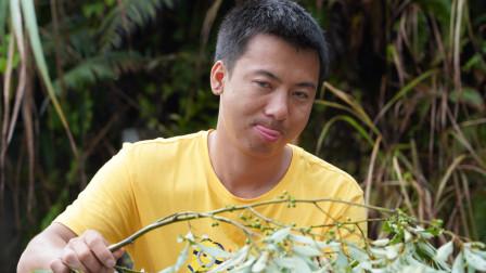华农兄弟:买了点田螺,刚好场里长了很多野胡椒,摘点来炒