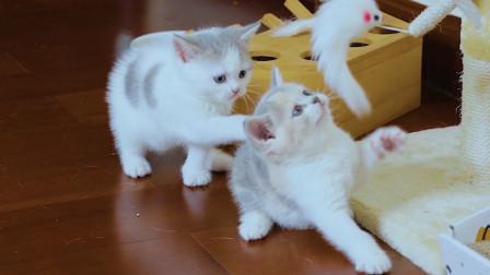 5只小奶猫打架,奶凶奶凶的谁都不认输,能分出胜负?