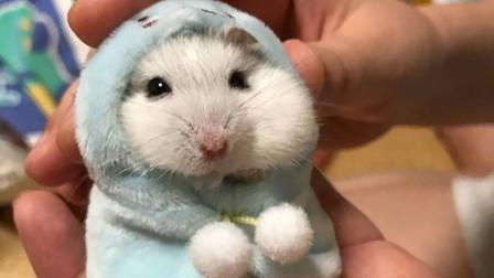 为什么仓鼠不能用水洗澡,否则就会死掉?看完你就明白了!