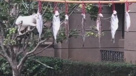 猫咪爬树偷鱼吃,同伴在树下帮它把风