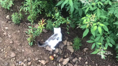 我家的猫咪是个《单身汉》,无聊到一支鸡毛能玩一整天