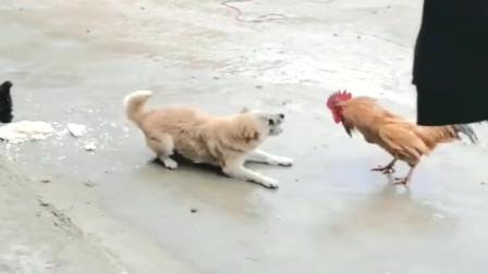 平时被鸡欺负无所谓,但是为了食物,狗子是不能忍的!