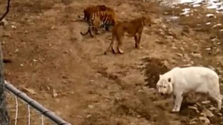 雌狮淡定观看两只老虎打架
