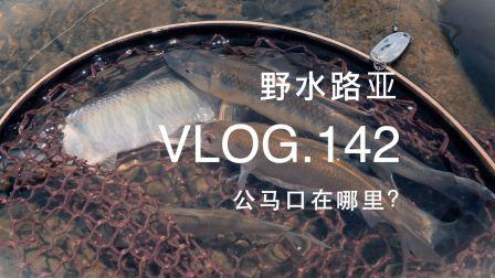 野水路亚VLOG.142 连着钓上来十几条马口居然都是母的 超哥分析其中缘由