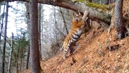 【老虎】比金国家公园老虎摩擦树木