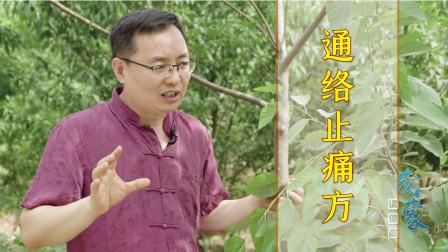 农村的一种果树,叶子果实能入药,连树枝也能通络止痛、祛风湿!