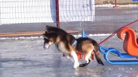 以下哪种狗狗能够在寒冷的地方拉雪橇呢? 斑马看世界 1 快剪  0801191422