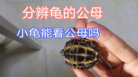 两分钟速看,龟龟公母如何分辨,小龟能看出公母吗