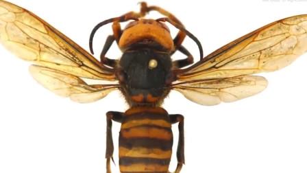 """巨型""""杀人蜂""""入侵美国华盛顿 搜捕数月抓到一只 官方发出警告"""
