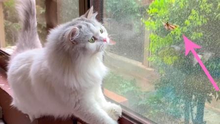 猫咪抓到一只扑棱蛾子,两口就吃掉了,以后再也不亲猫了