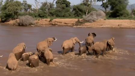 刚出生的小象和母亲第一次渡河,却被水流冲走,险象环生!
