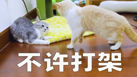 两只小猫打架,猫爸想劝架还被群殴!铲屎官在旁边笑出猪声!