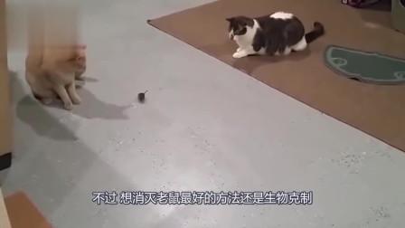 经常见到猫抓老鼠,可曾见过狗抓老鼠?镜头记录全进程