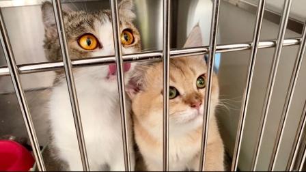 两只被扔在医院的传腹小猫咪,意外得到一根猫条,好吃的一起甩头