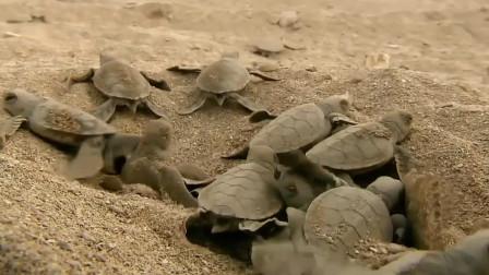一群刚出生的小海龟爬向大海,被海鸟一口一口当成自助餐,惨烈!