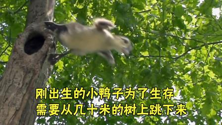 北美木鸭刚出生几个小时,就要从十几米的树上跳下来,去水里觅食
