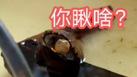 抓拍喂龟画面,小龟吃饭真的这么香嘛?看的我都馋了