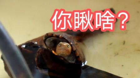 抓拍喂龟画面,小龟吃饭真的这么香嘛,看的我都馋了