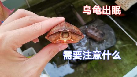 乌龟出眠有什么需要注意的事情,这些事情你一定要知道