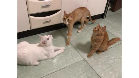 猫猫 橘猫