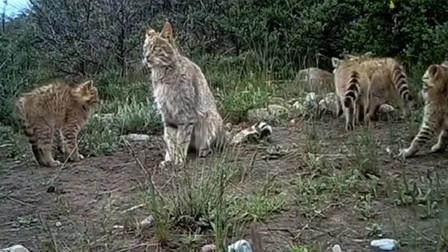 【动物世界】罕见,祁连山国家公园五只荒漠猫同框
