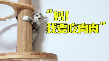 缅因猫也太黏人了吧,像狗一样随叫随到!原来真相是这样的!