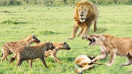 一群鬣狗抢母狮食物,不料狮子王霸气归来,网友:强大的气场!
