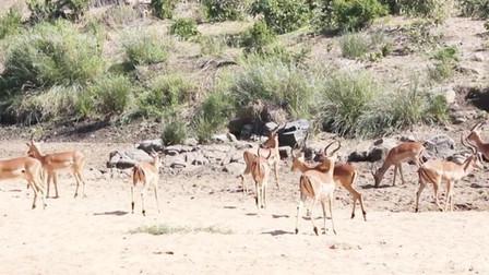 一群羚羊正在觅食,花豹就在几米开外,它究竟藏在了哪里?
