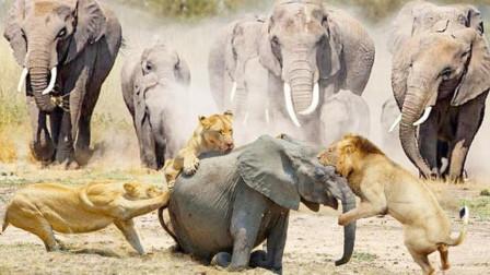 一群狮子挑衅一群大象,本以为会是一场决斗,结果狮子怂了!