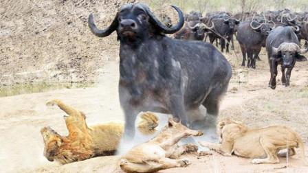 一群野牛攻击一头狮子王,狮子假装反击野牛群,转而捕杀小野牛