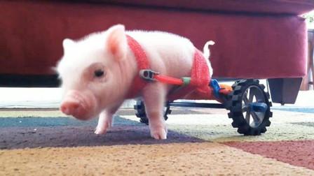 一头小猪后腿残疾,好心主人给它装了轮椅后,跑得飞快!