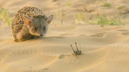 一只饿极了的刺猬不怕蜈蚣,跑上去就开吃,殊不知被猫头鹰盯上!